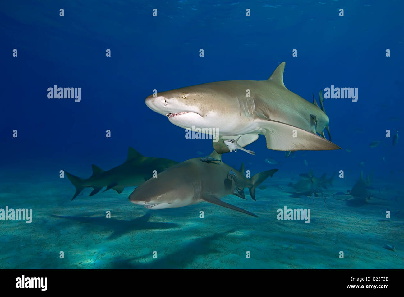 Lemon sharks, Bahamas - Stock Image