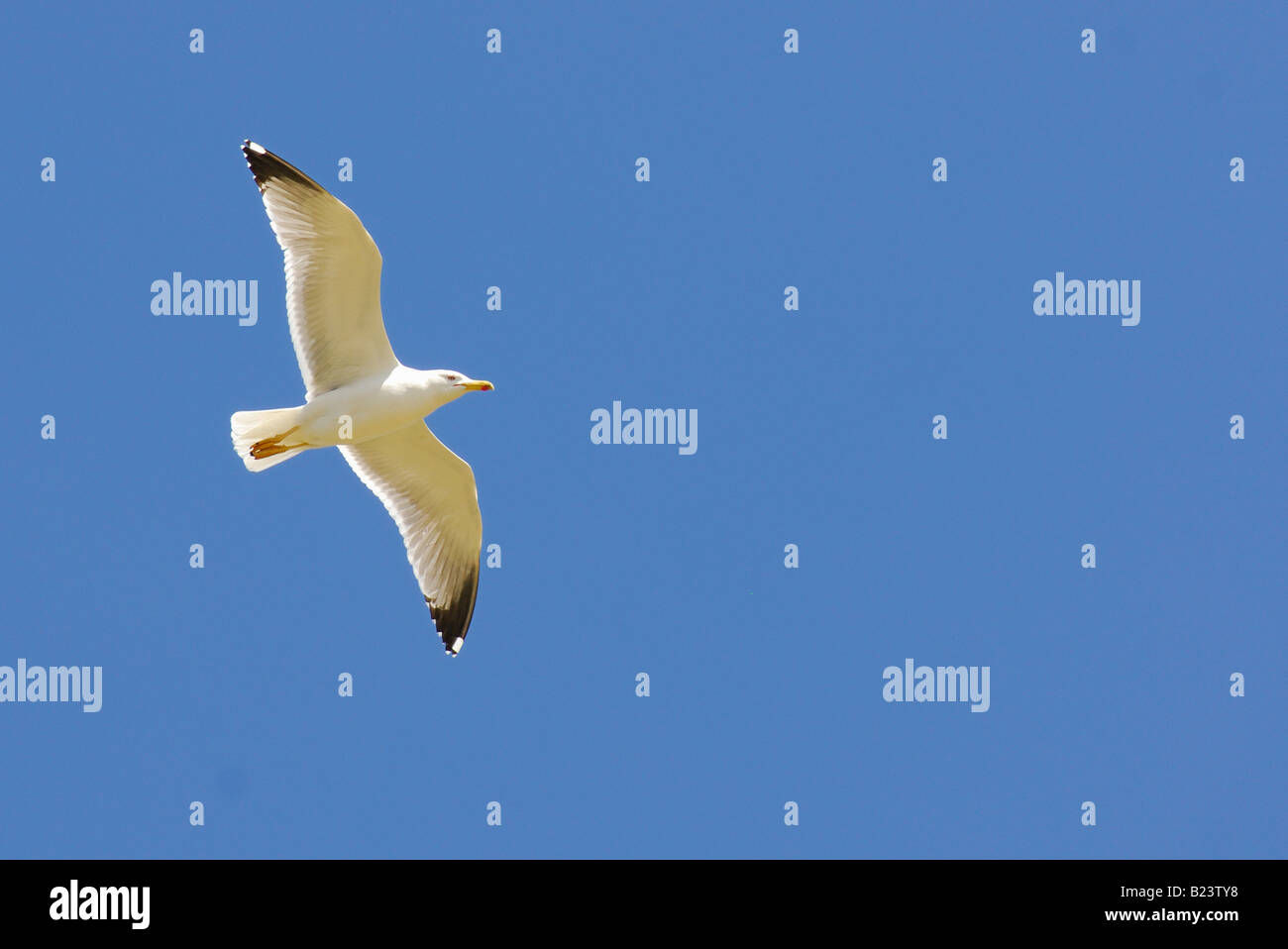 Larus argentatus, Herring Gull, Latina, Italy - Stock Image