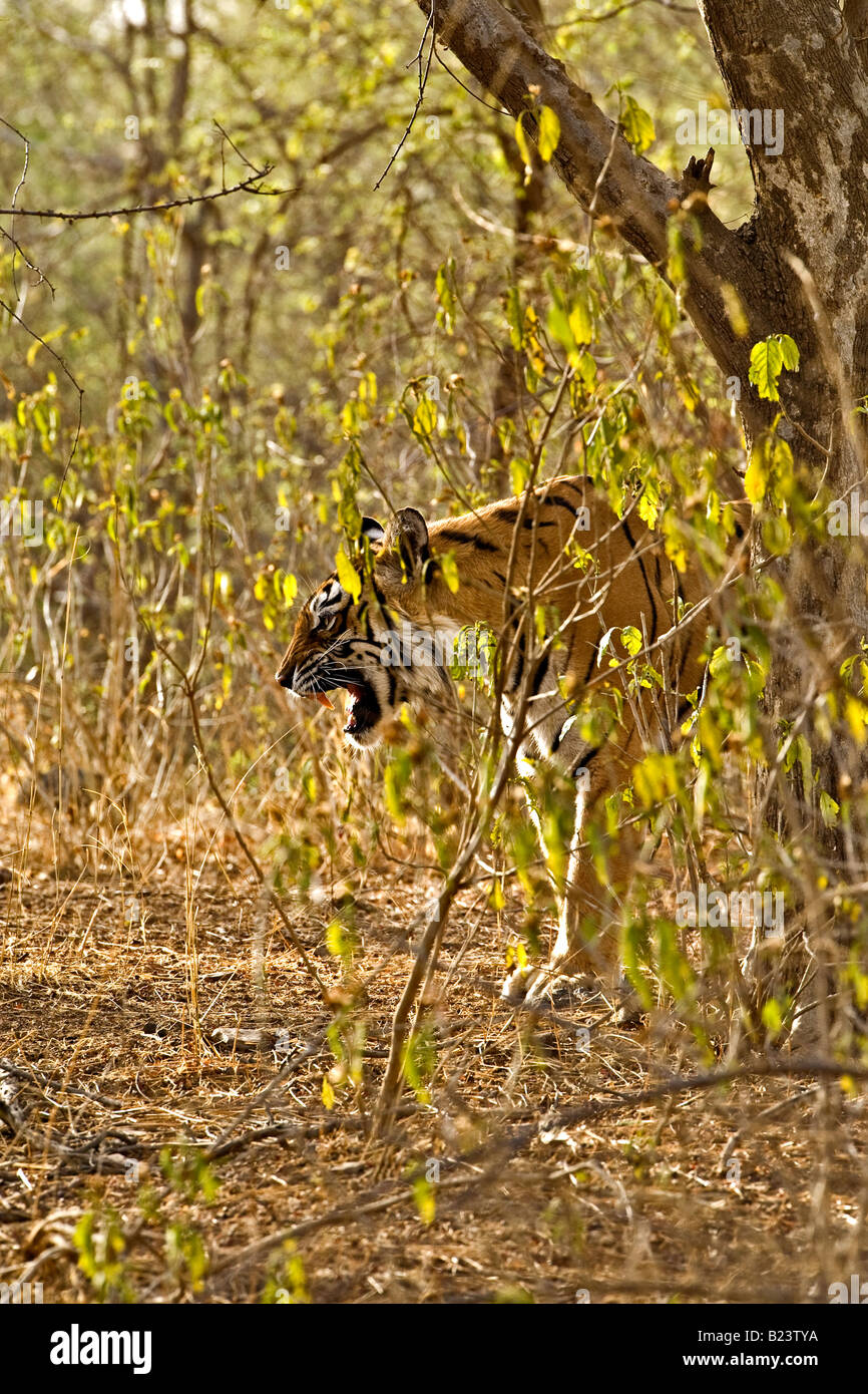 Wild tiger snarling from behind a bush in the jungles of Ranthambhore - Stock Image