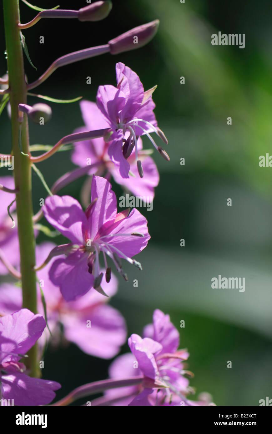 fireweed blooming sally rosebay willow herb great willow herb Epilobium angustifolium blooming Stock Photo