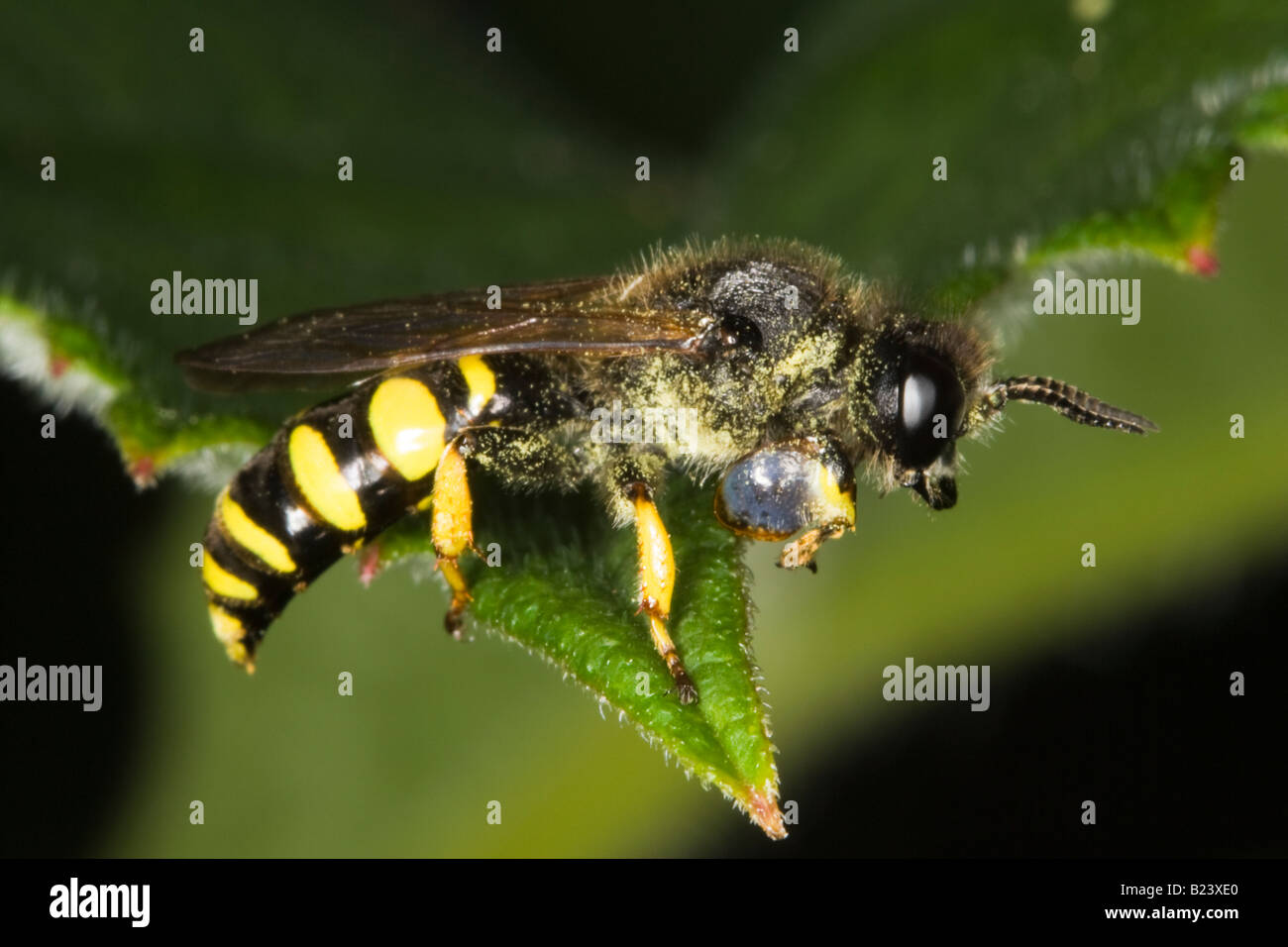 male Slender-bodied Digger Wasp (Crabro cribrarius) - Stock Image