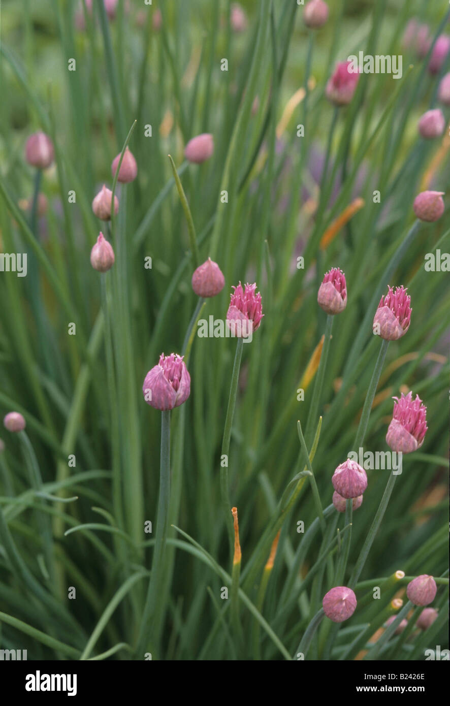CHIVES PERENNIAL PLANT RELATED TO ONION - Stock Image