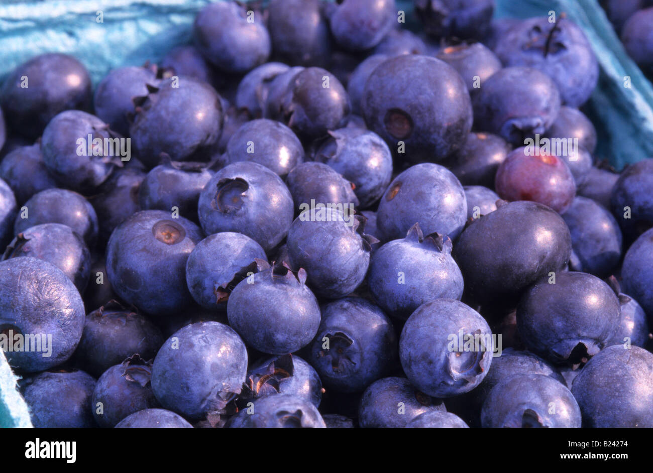 Blueberries. The species are native only to North America. - Stock Image