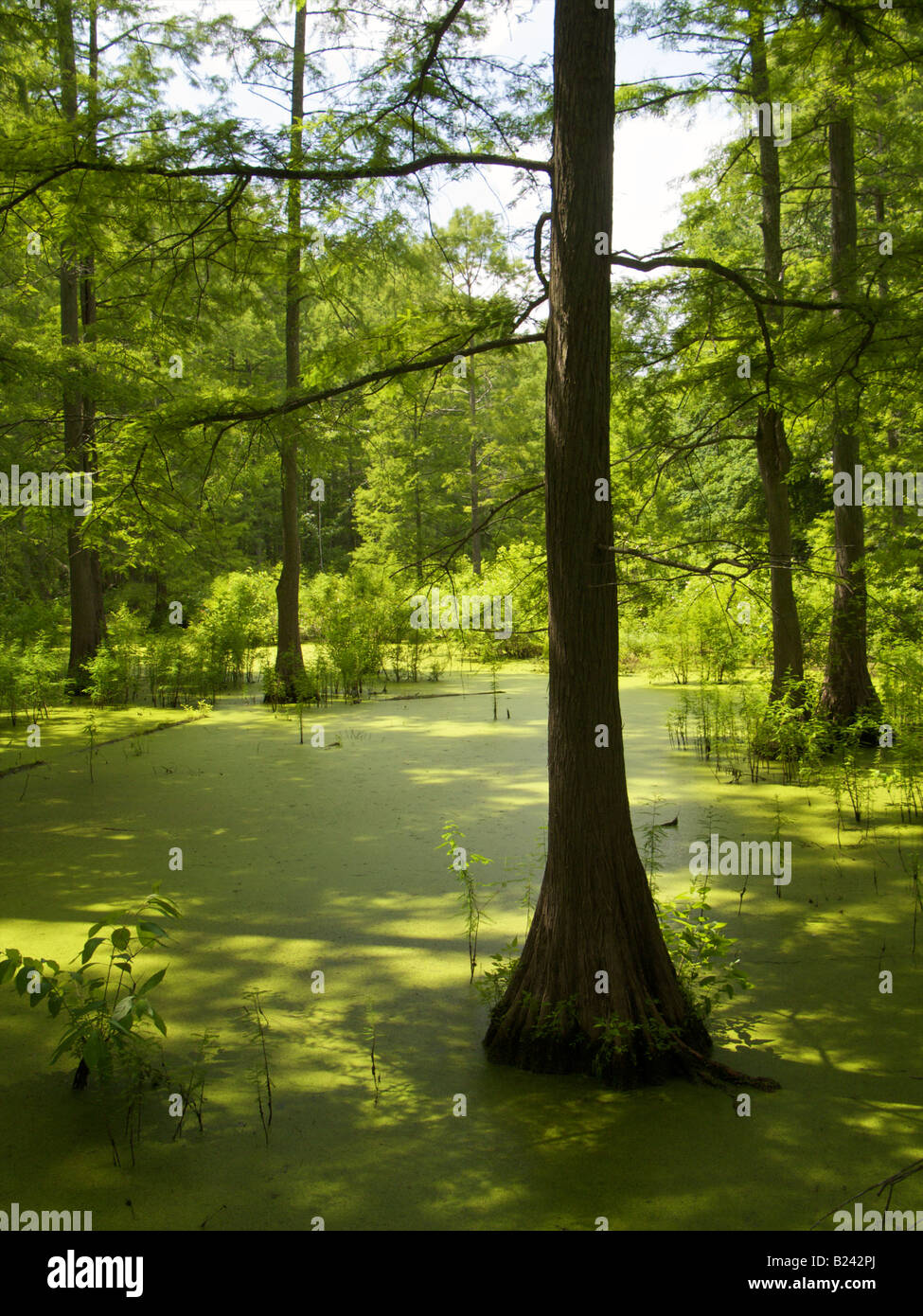 Heron Pond in the Cache River State Natural Area Southern Illinois Bald cypress swamp - Stock Image