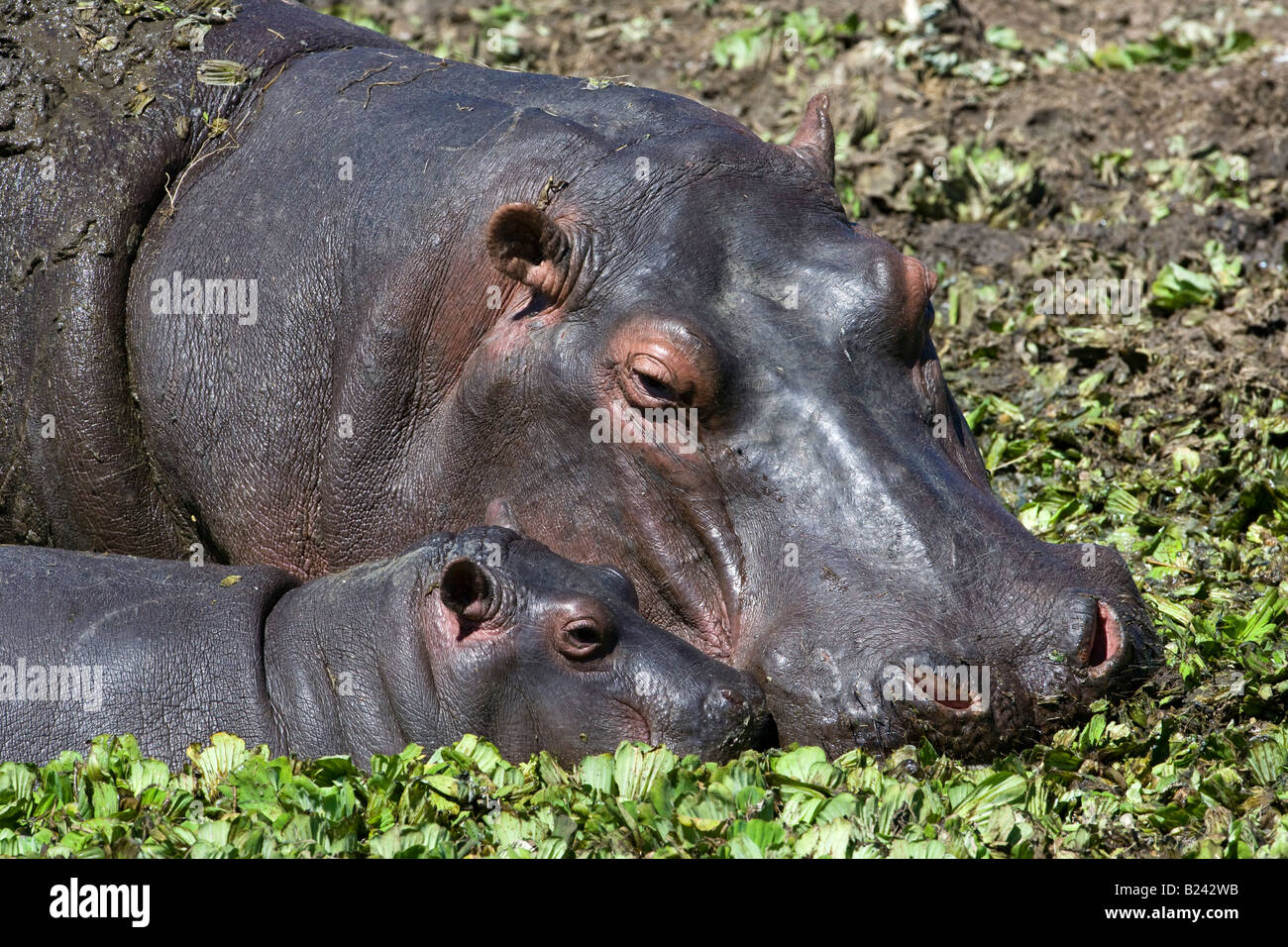 Horizontal close-up headshot of maternal Mother and sweet cute tiny baby Hippo, heads touching, feeding in sunlit - Stock Image