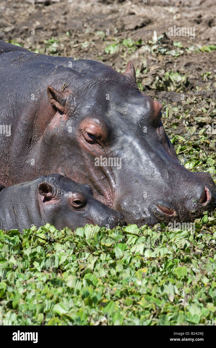 Vertical close-up headshot of maternal Mother and adorable sweet cute tiny baby Hippo, heads touching, feeding in - Stock Image