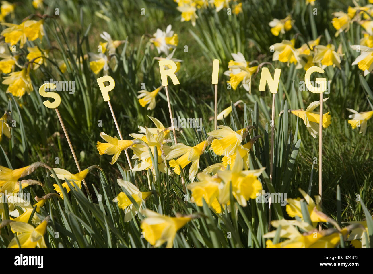 The word spring and daffodils - Stock Image