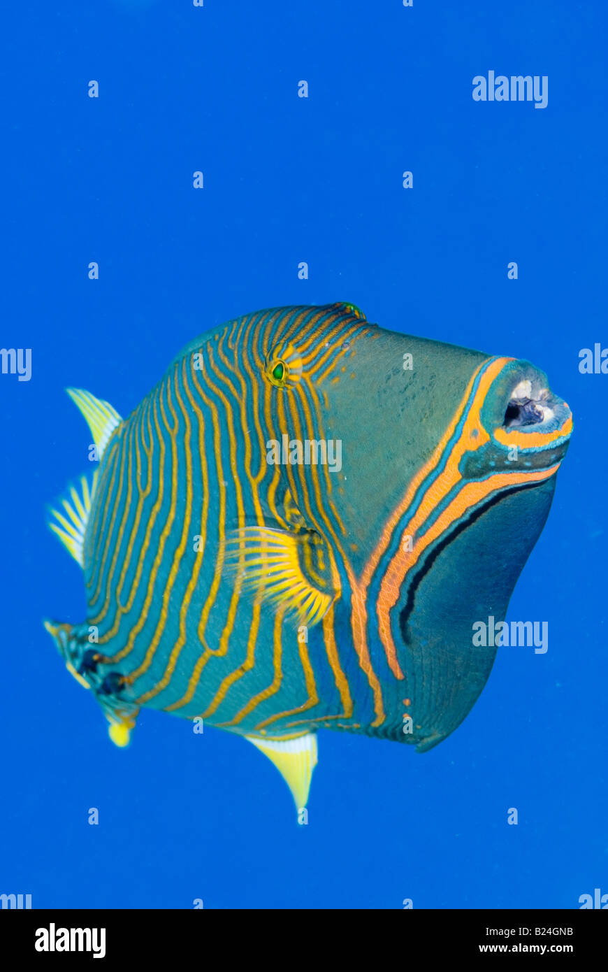 Trigger fish in Red Sea. - Stock Image