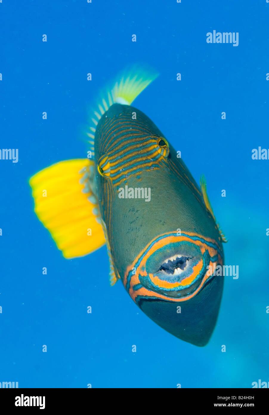 Trigger fish portrait. - Stock Image