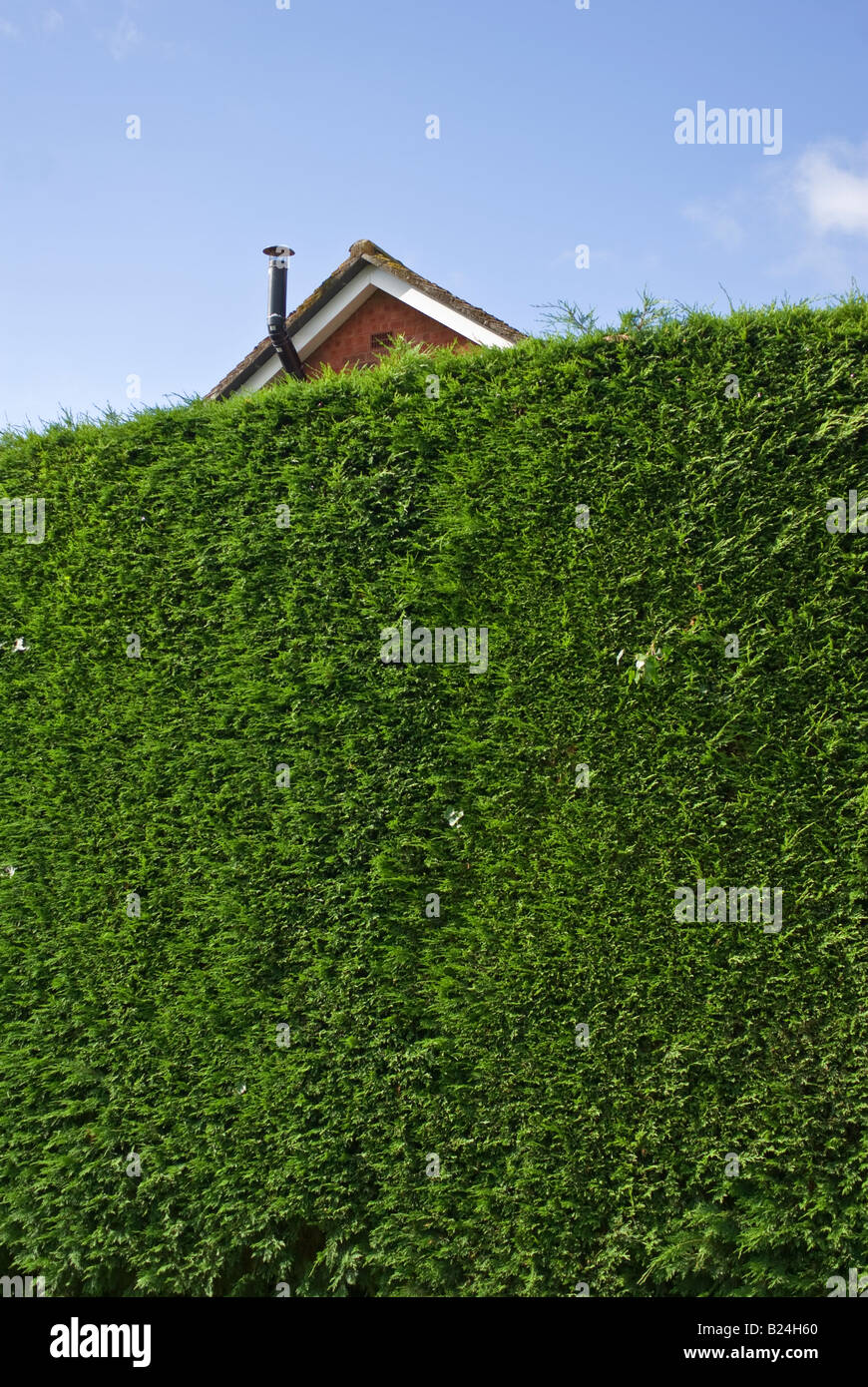 Tall Leylandii cypress hedge grown to obscure new development housing on adjacent land in UK - Stock Image