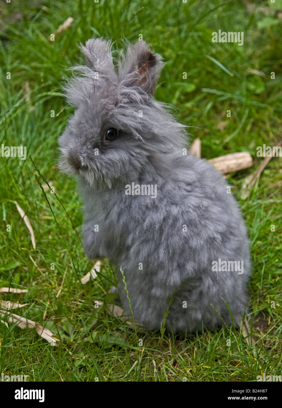 Grey Lionhead Rabbit, showing a long-hair reversion back to it's Angora ancestry Stock Photo