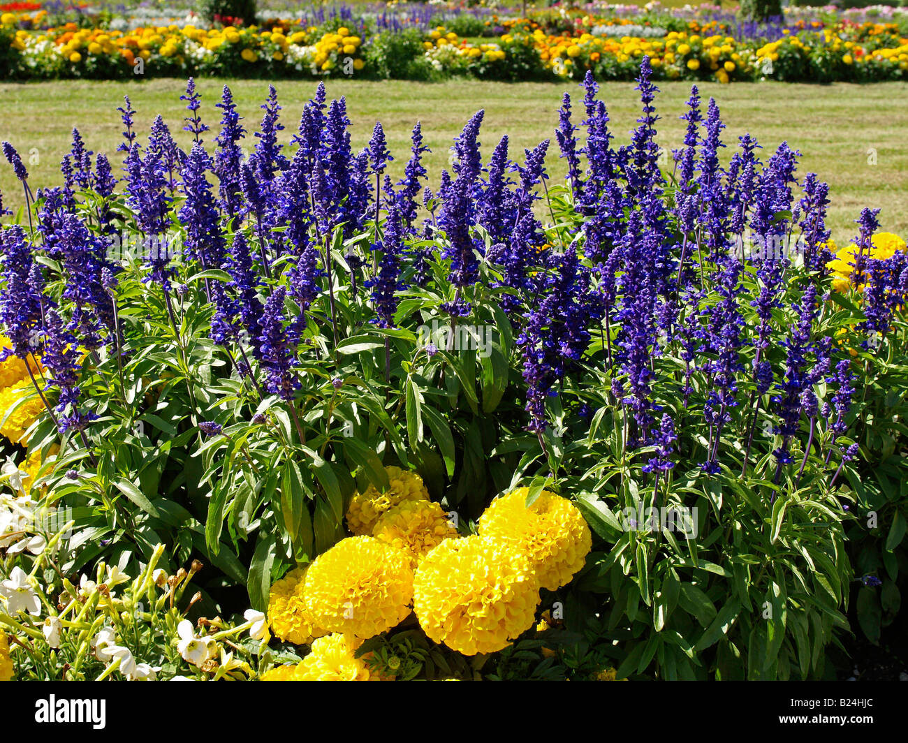 plant flower salvia farinacea - Stock Image