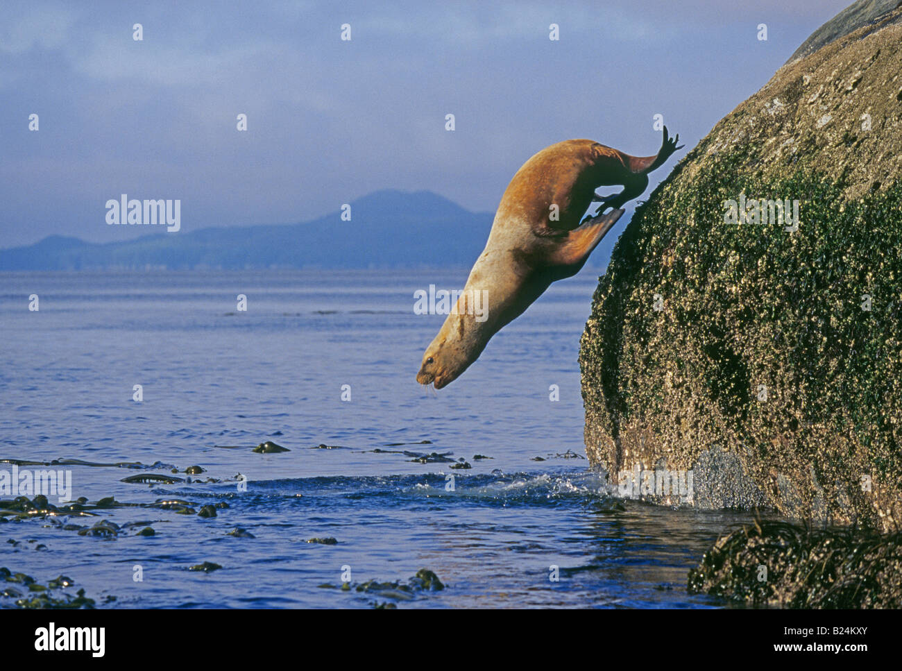 Portrait of a Stellars Sea Lion leaping into the Pacific of the Inside Passage on the western coast of British Columbia - Stock Image