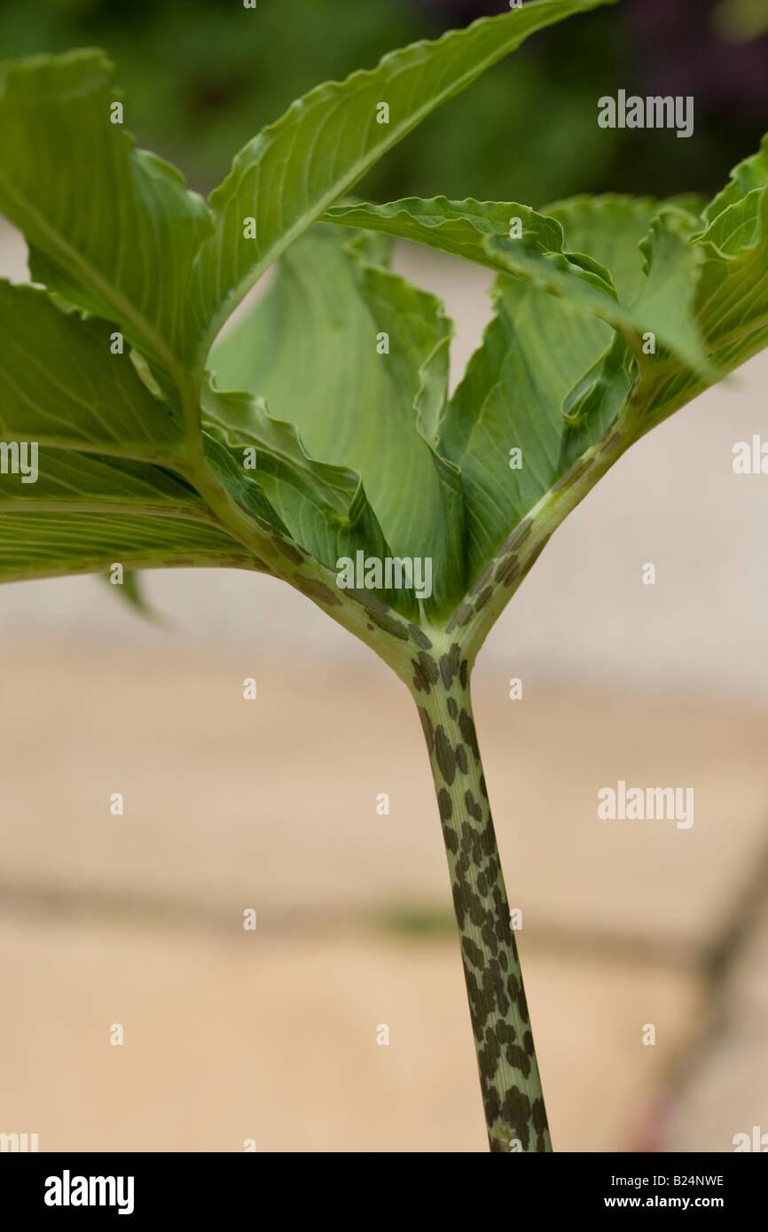 Sauromatum venosum (syn. Arum cornutum) opening leaves and stem - Stock Image