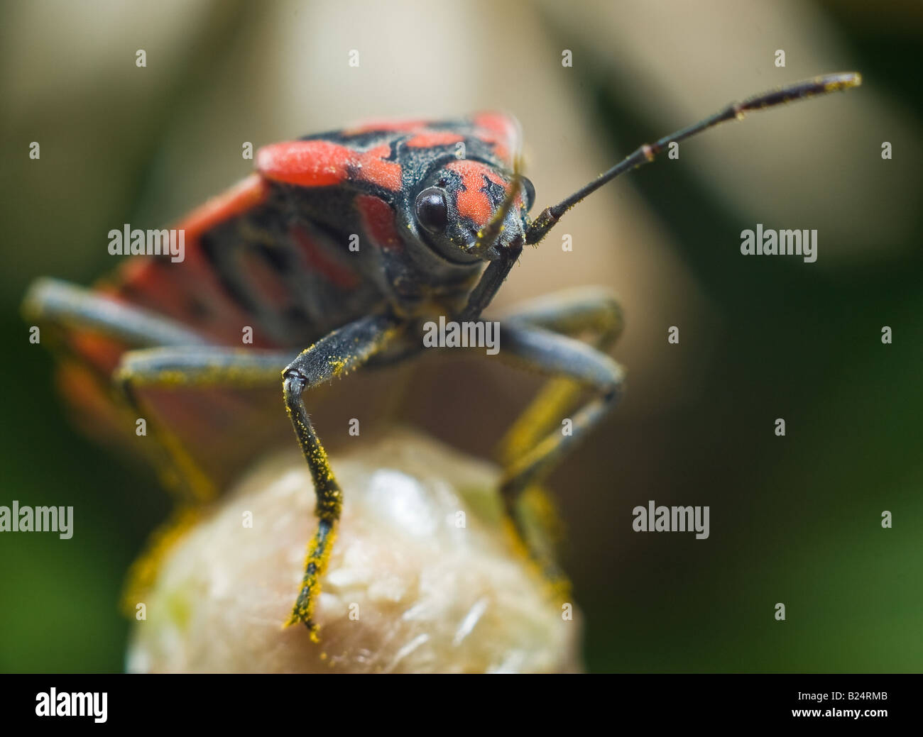 A red bug sits on a flower bud in Mallorca - Stock Image