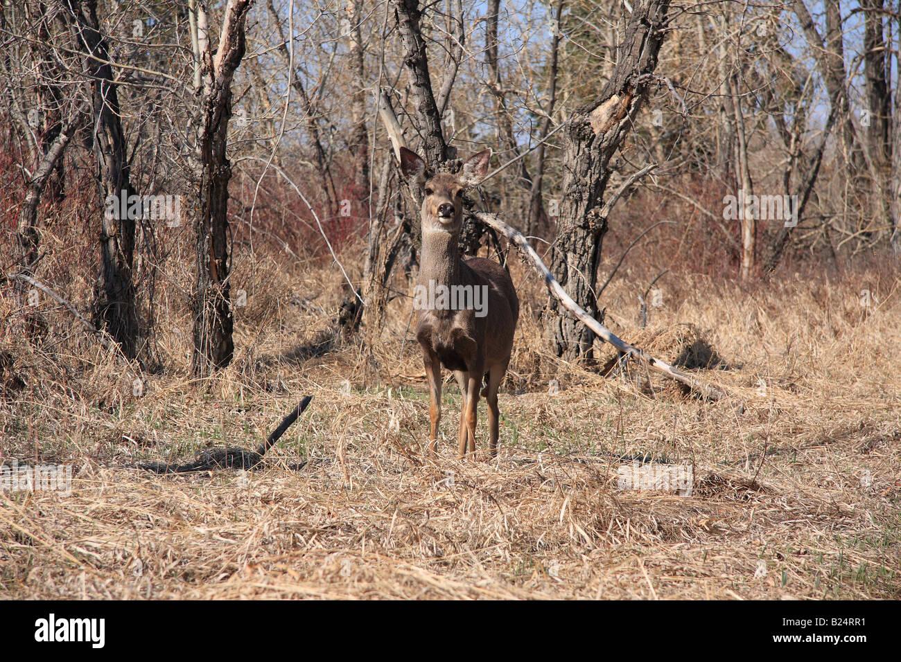 Deer in Inglewood Bird Sanctuary, Calgary, Alberta Stock Photo