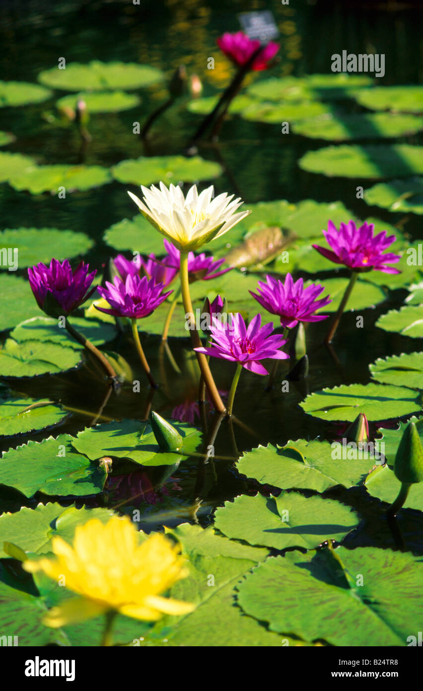 Lilis flower stock photos lilis flower stock images alamy water lilis nuphar aquatic plant stock image izmirmasajfo