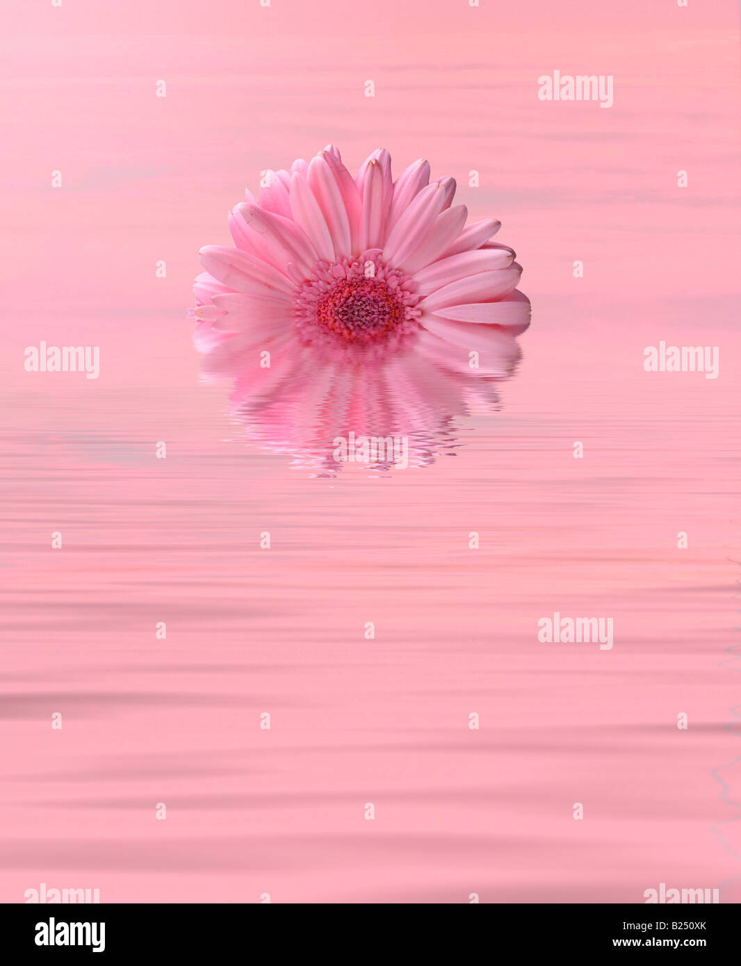Pink flower over gently rippling water - Stock Image