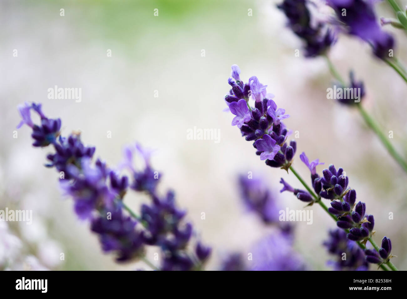 Lavandula angustifolia. Lavender in flower - Stock Image