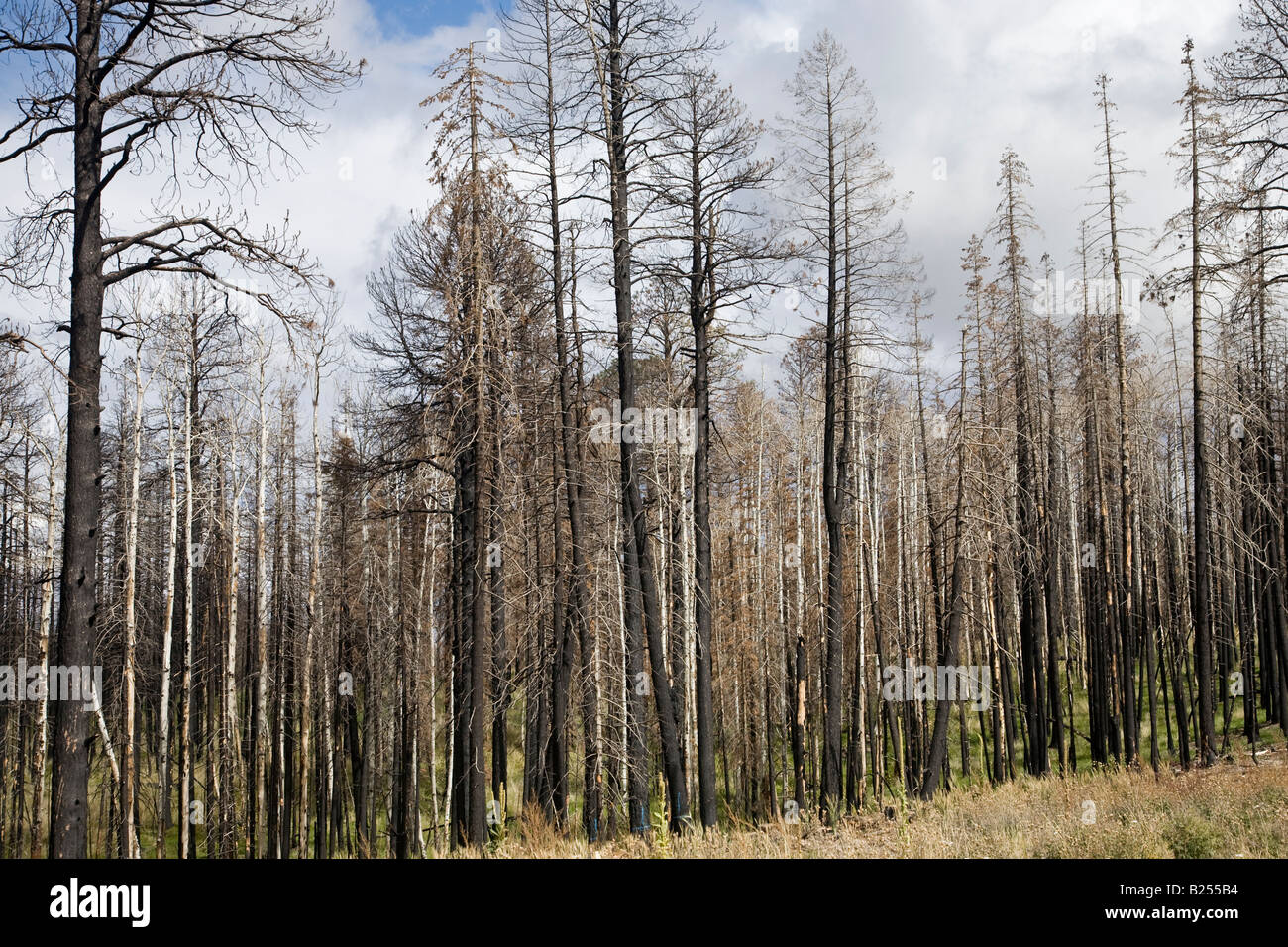 After Forest Fire - Kaibab National Forest Arizona USA - Stock Image