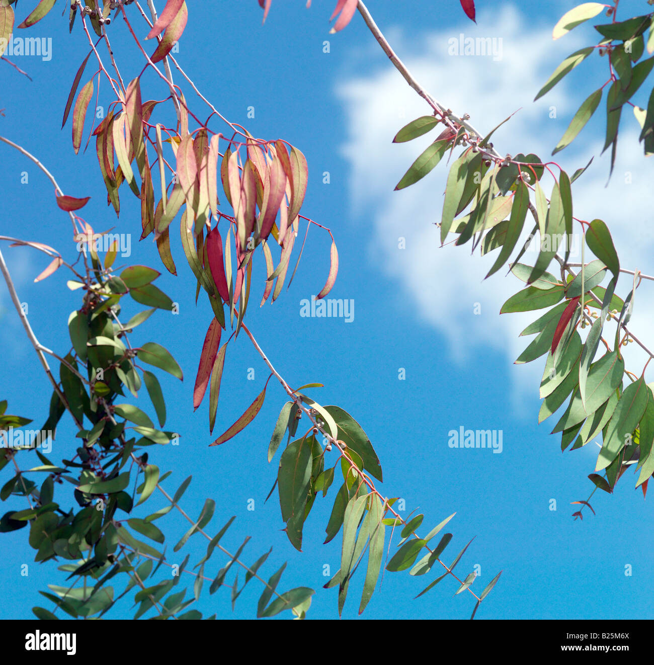 Eucalyptus Leaves and Blue Sky - Stock Image