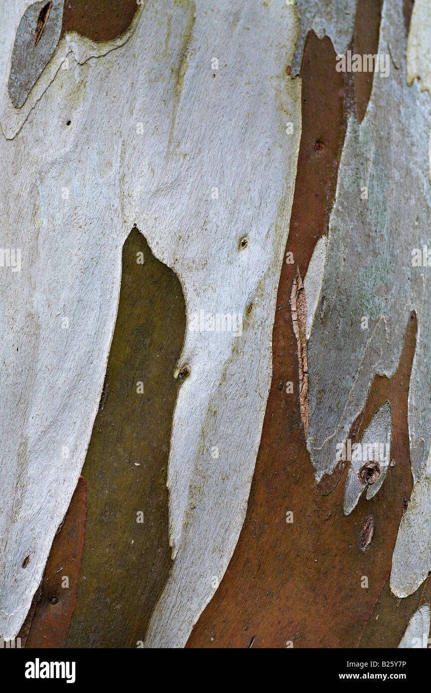 Bark of the Snow Gum Eucalyptus tree in Poolewe horticultural gardens - Stock Image