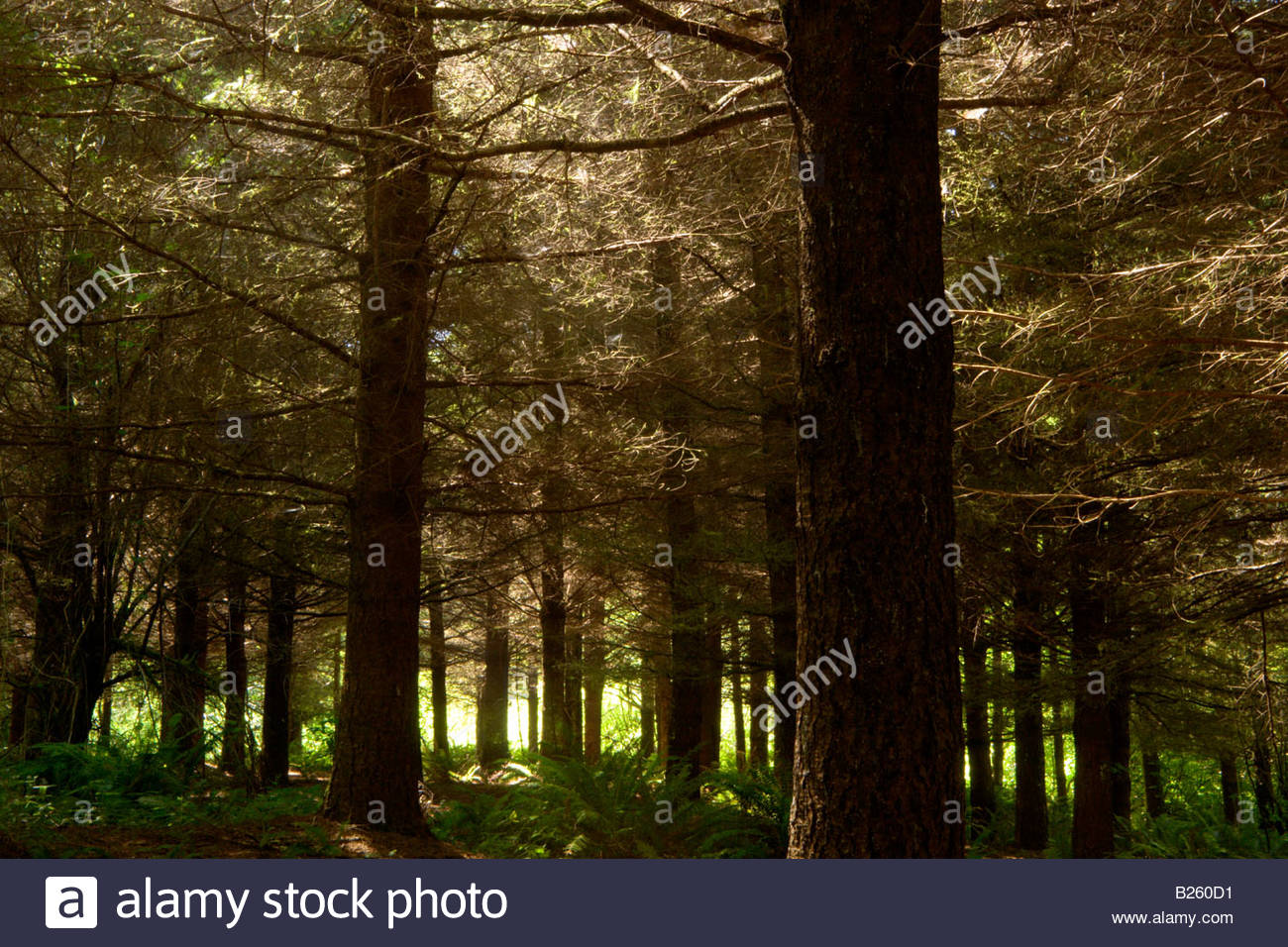 2nd Growth Redwood Trees Headwaters Forest Reserve California - Stock Image