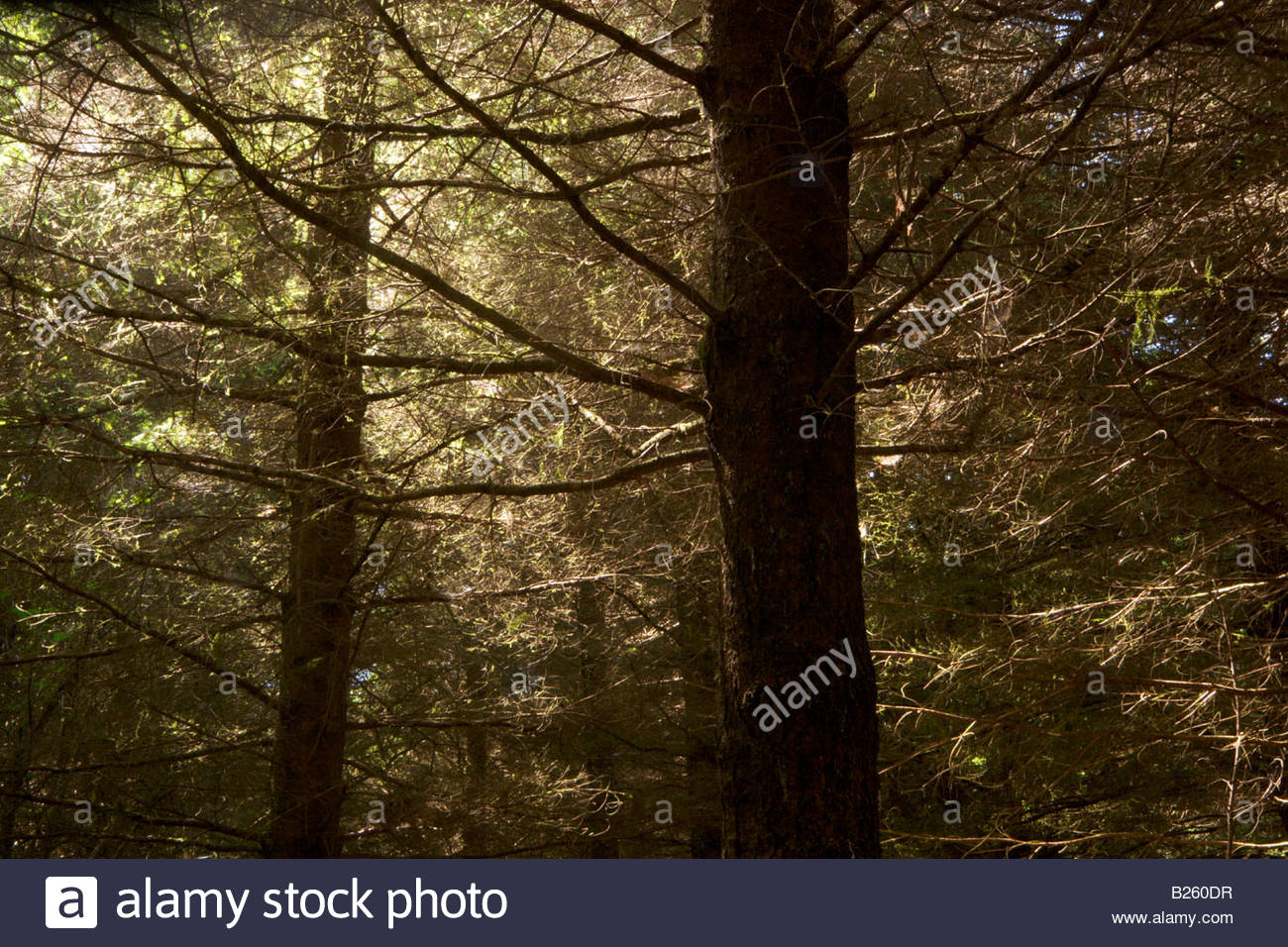 2nd Growth Redwood Trees Sequoia semperivens Headwaters Forest Reserve California - Stock Image