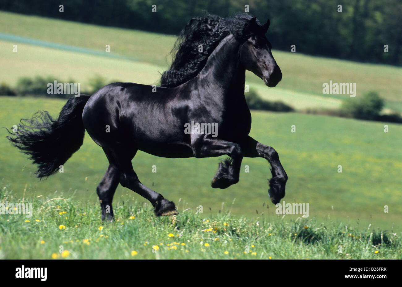Friesian Horse (Equus caballus), stallion in gallop on a meadow - Stock Image