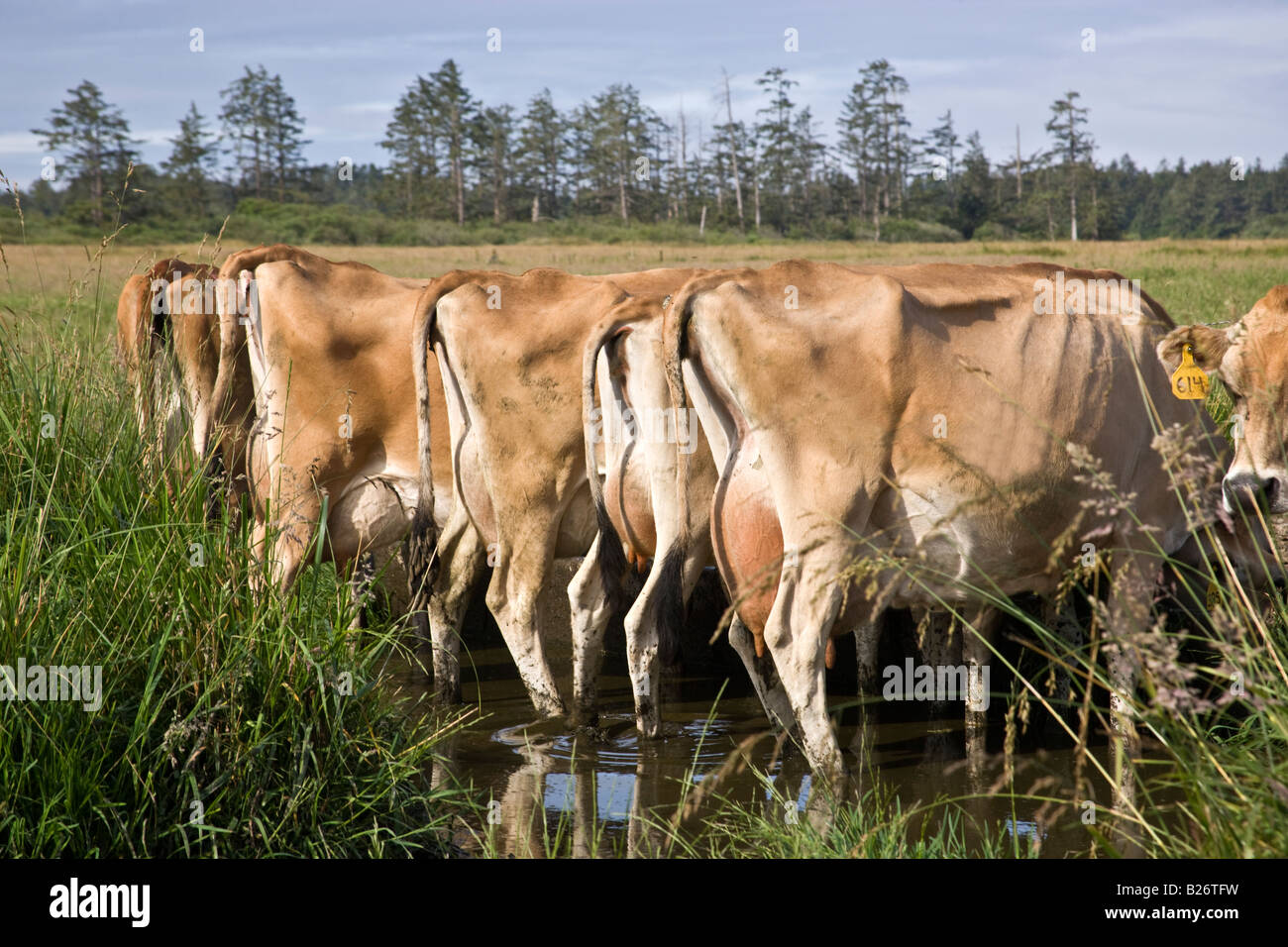 Backsides of Jersey Cows at water trough. - Stock Image
