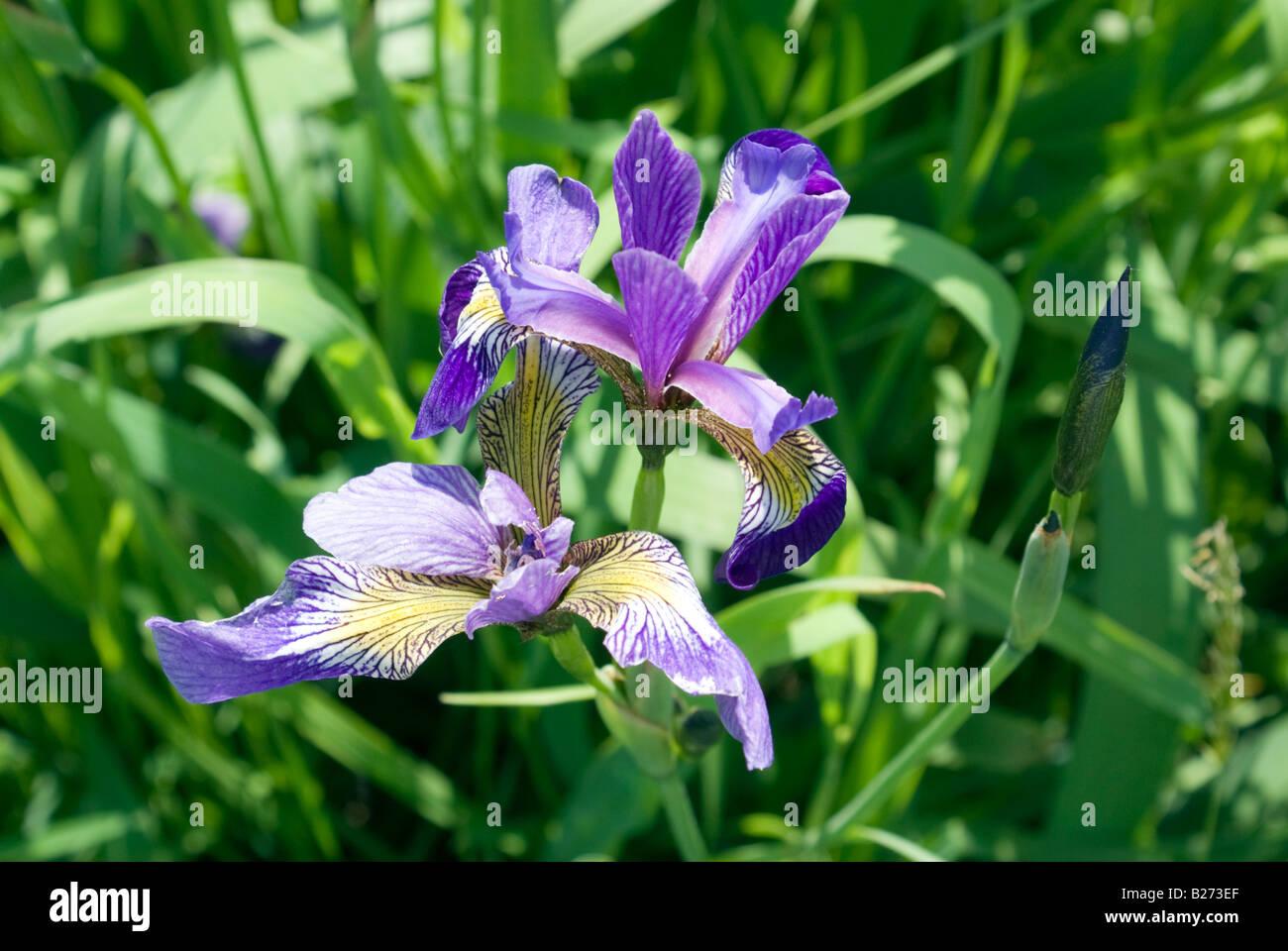 Iris flower garden stock photos iris flower garden stock images iris flower garden domaine joly de lotbiniere stock image izmirmasajfo