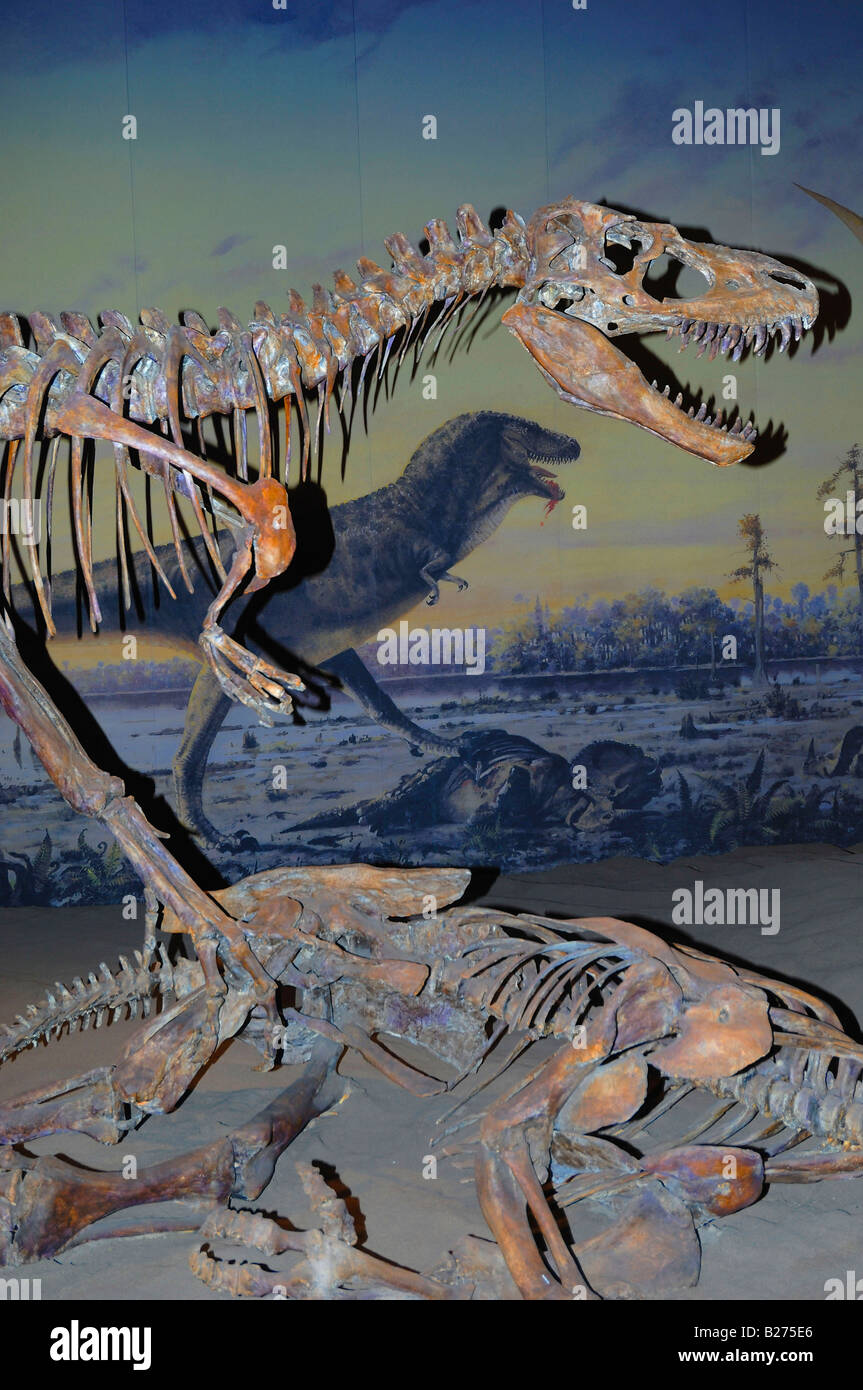 Vertical format view of skeleton of an Albertosaurus dinosaur at The Royal Tyrrell Museum at Drumheller, Alberta, - Stock Image