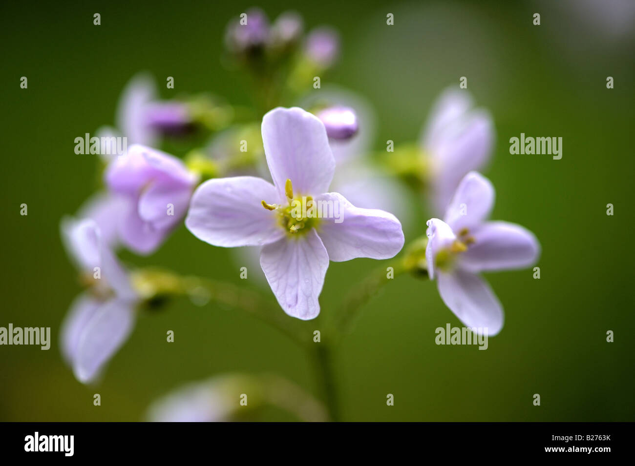Lady s Smock or Cuckoo Flower Stock Photo