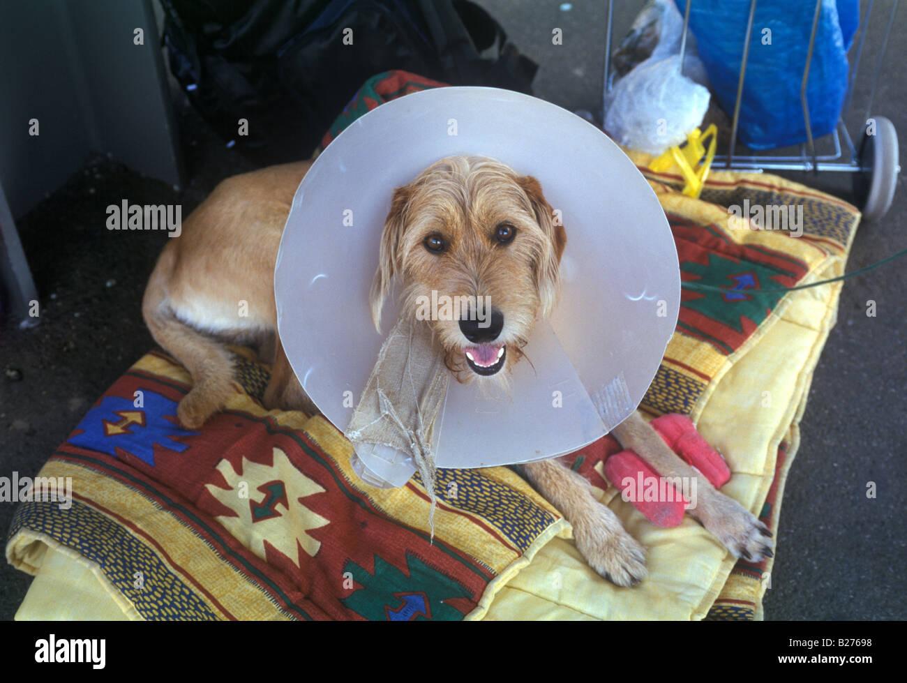 dog wearing elizabethan collar - Stock Image