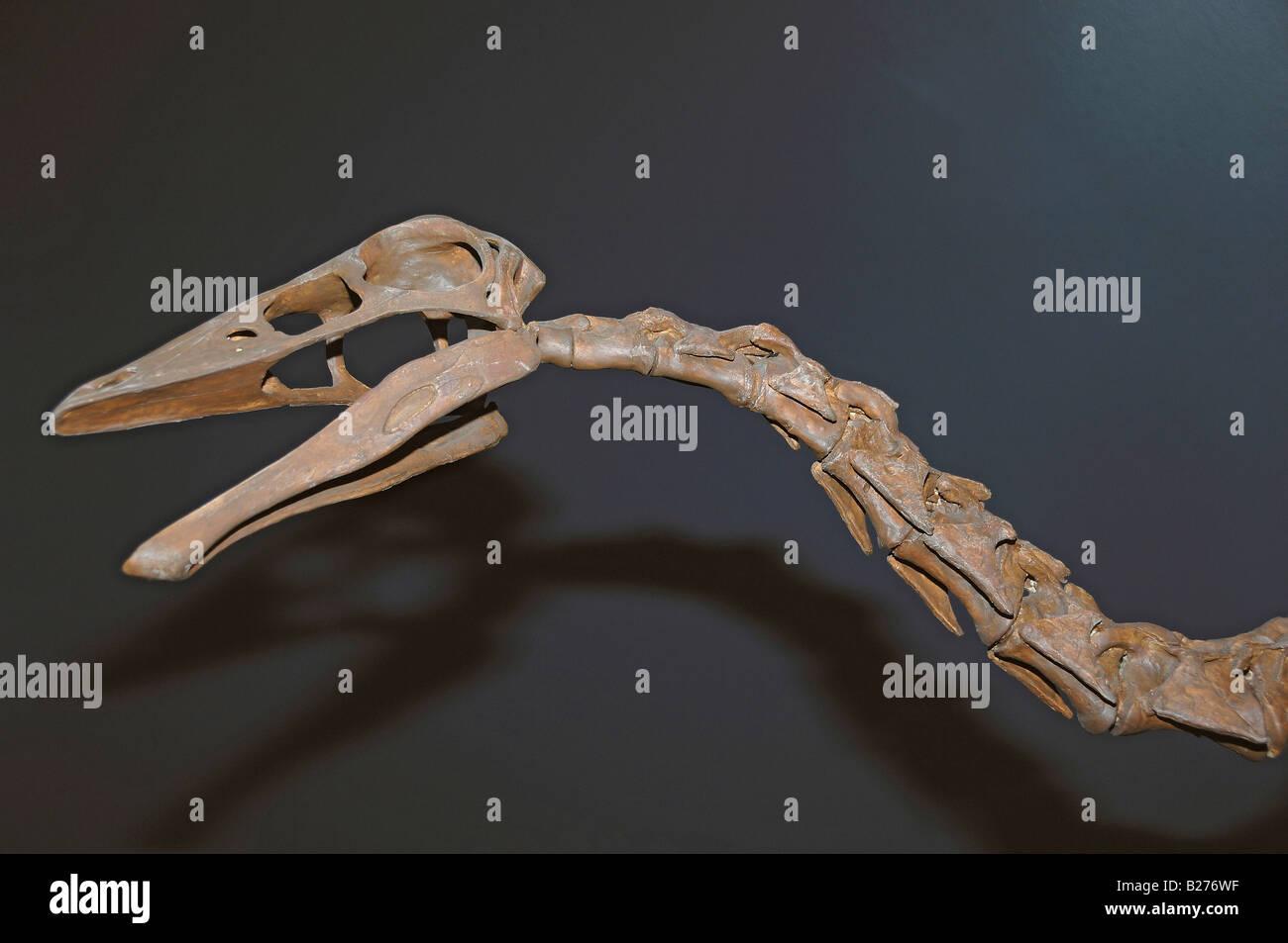 Dinosaur skeleton of Ornithomimus edmontonicus at The Royal Tyrrell Museum, Drumheller, Alberta, Canada - Stock Image