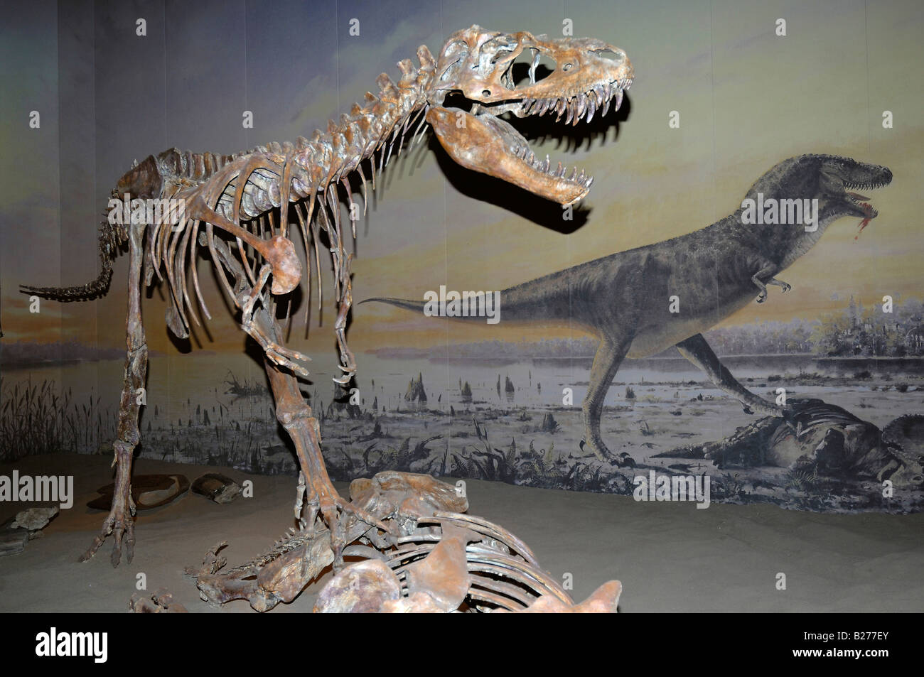 Horizontal format of skeleton of an Albertosaurus dinosaur at The Royal Tyrrell Museum at Drumheller, Alberta, Canada - Stock Image