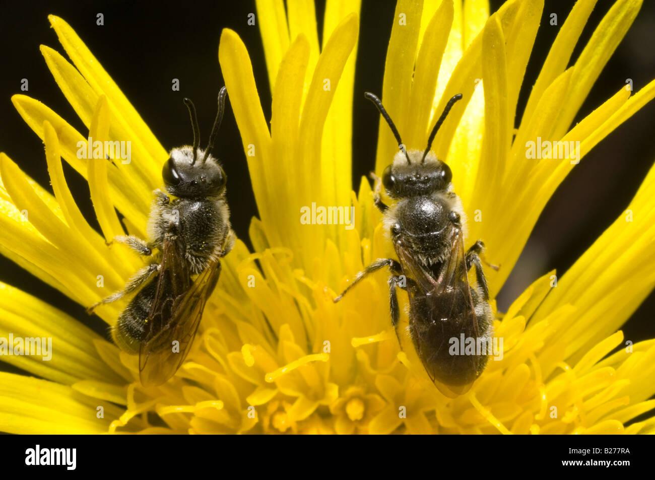 Australian native bees on podolepis flower - Stock Image