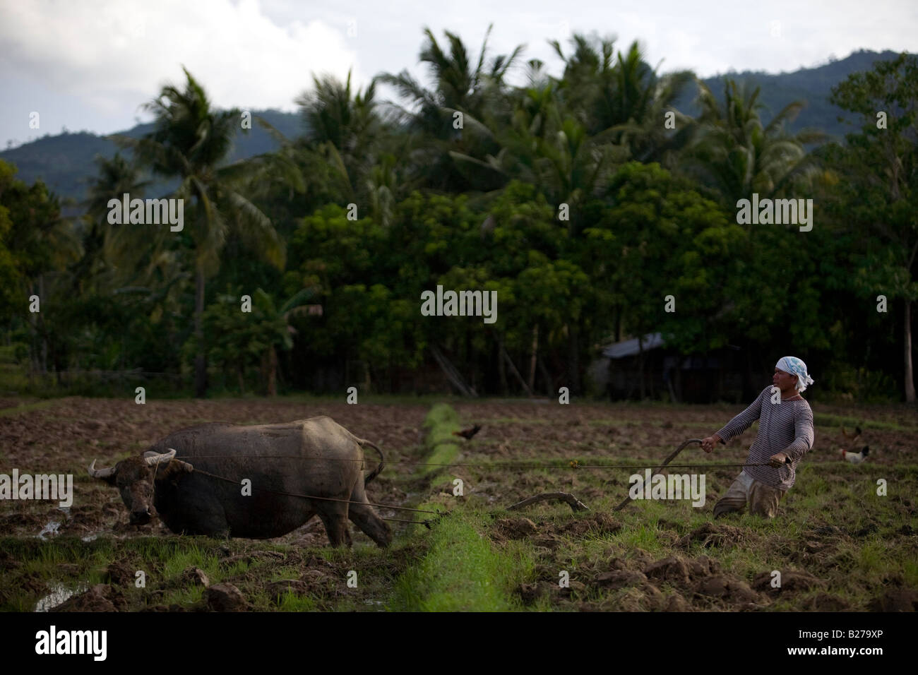 A Filipino worker drives a carabao while tending a rice field near Mansalay, Oriental Mindoro, Philippines. - Stock Image