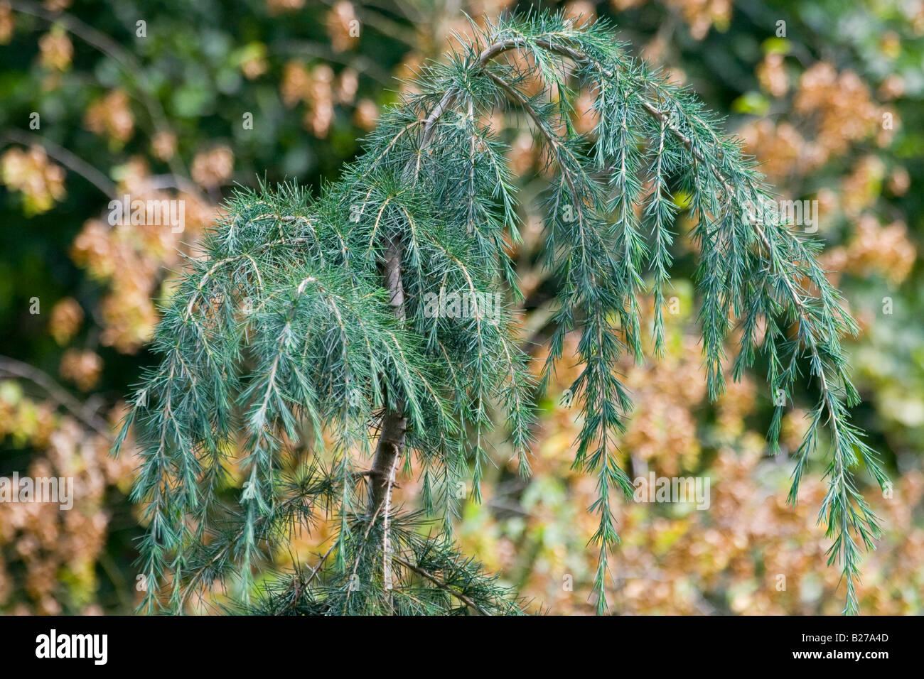 Himalayan Cedar - Cedrus deodara - Stock Image
