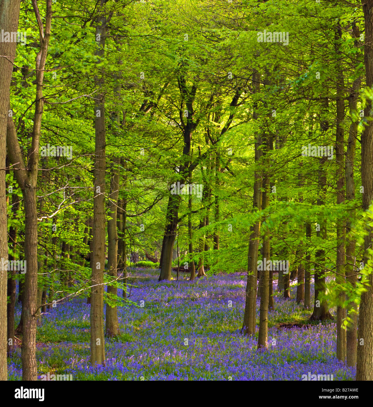 Carpet of Bluebells - Stock Image