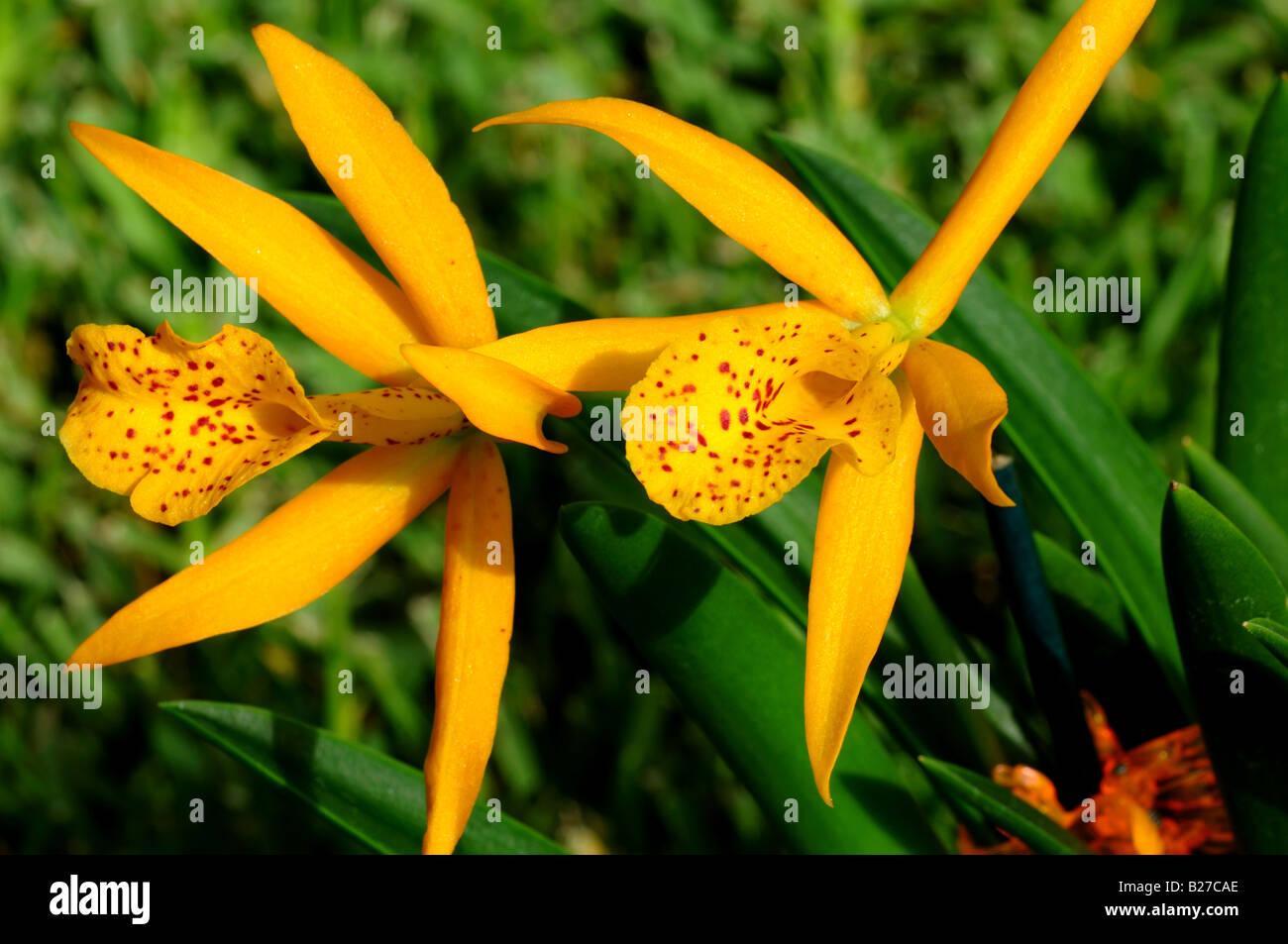 Two orange orchid flowers. Brassolaeliocattleya Blc. Haleahi Sunbow x Blc. Richard Mueller. - Stock Image