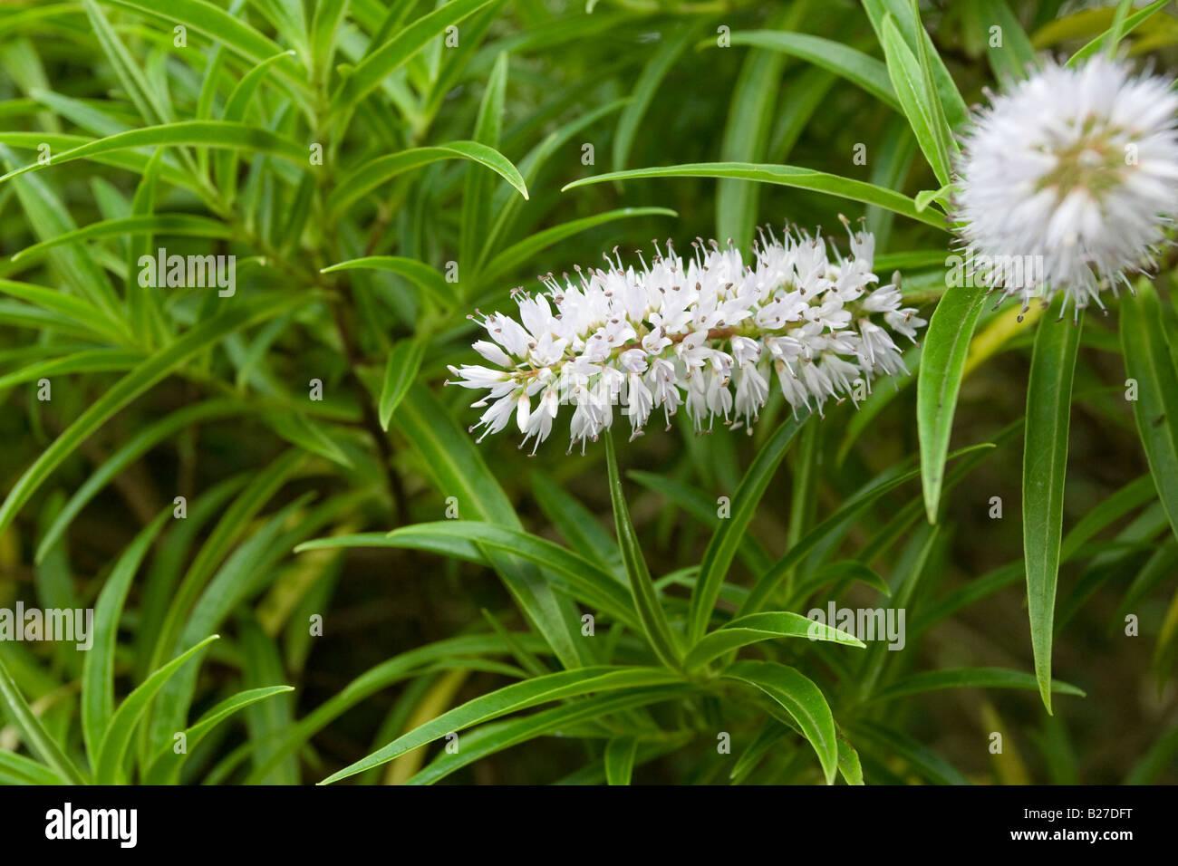 White spiky flowers against a grass background stock photo 18603980 white spiky flowers against a grass background mightylinksfo