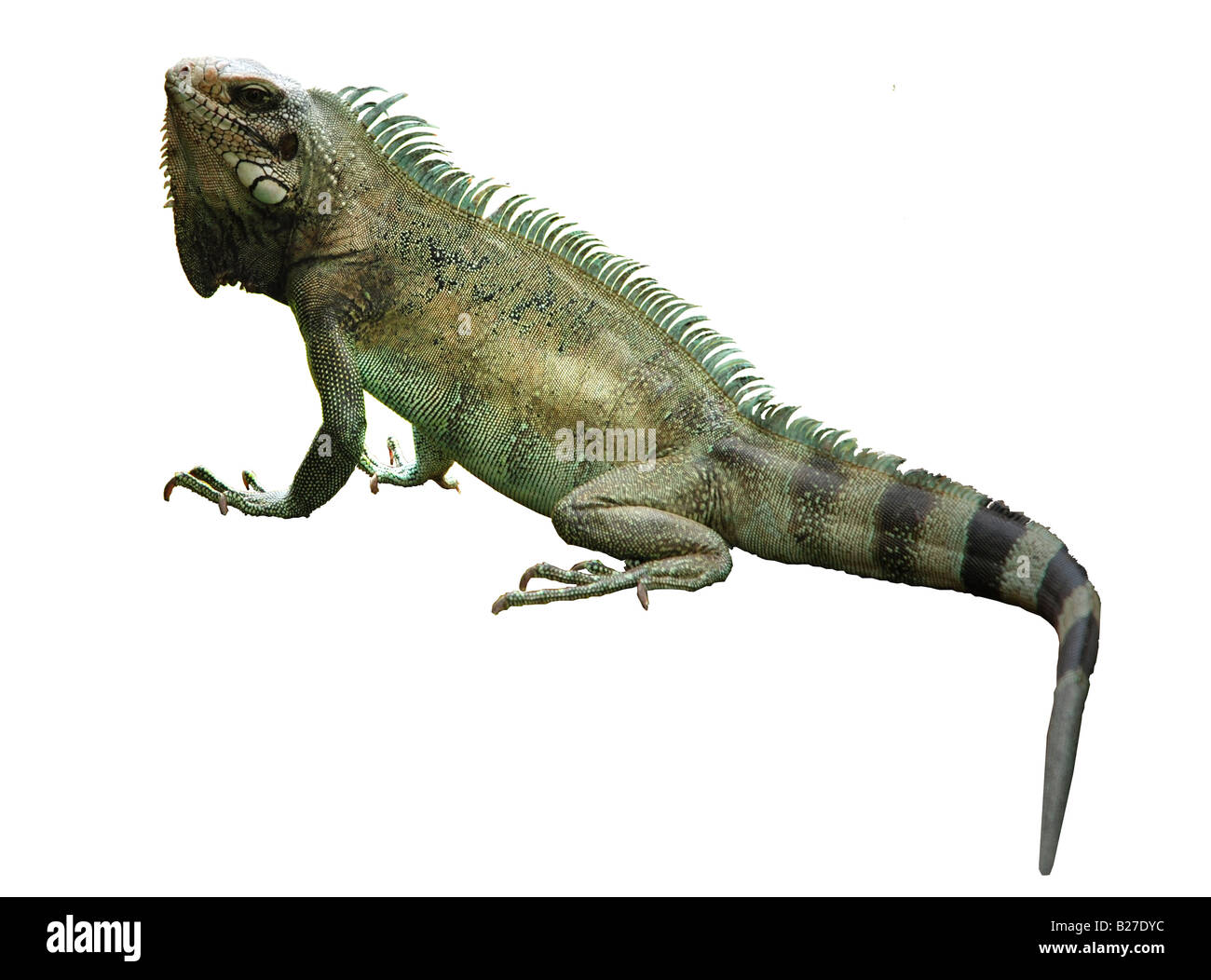 iguana cut out cutout close up from south America - Stock Image