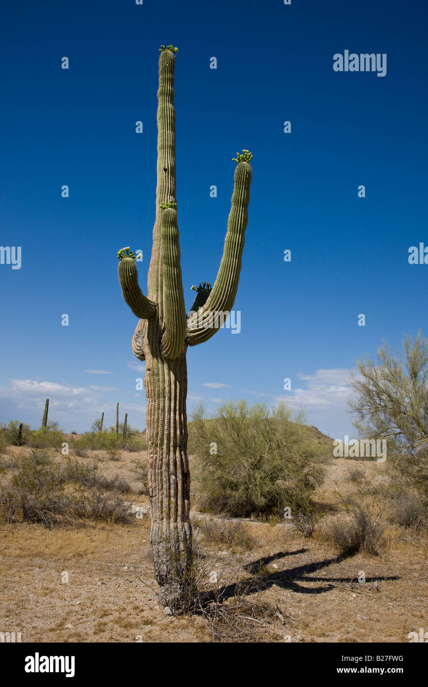 Saguaro Cactus - Stock Image