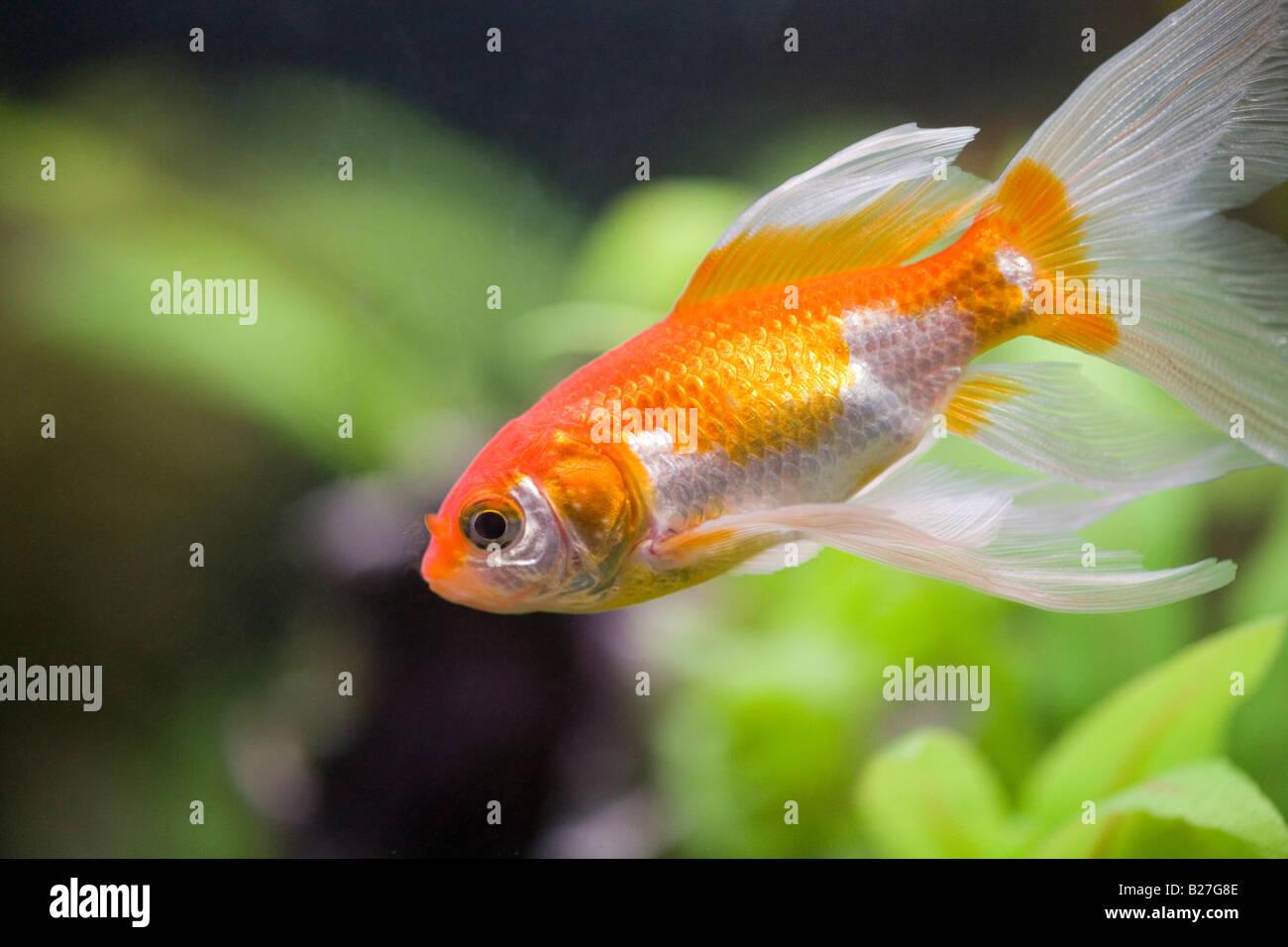 Fancy Goldfish Stock Photos & Fancy Goldfish Stock Images - Alamy