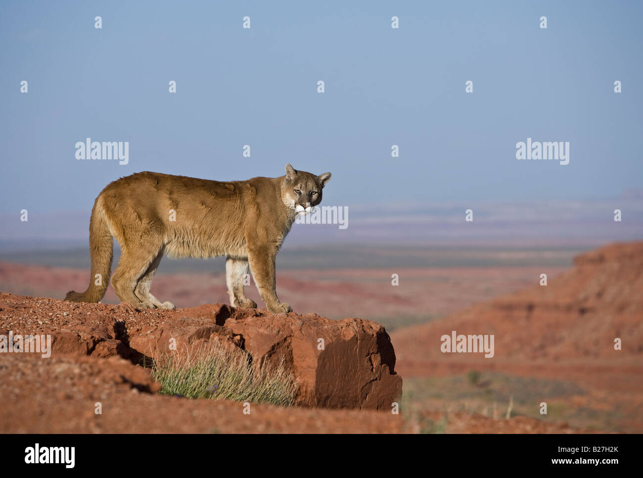 Mountain Lion On Cliff Stock Photos Mountain Lion On Cliff Stock