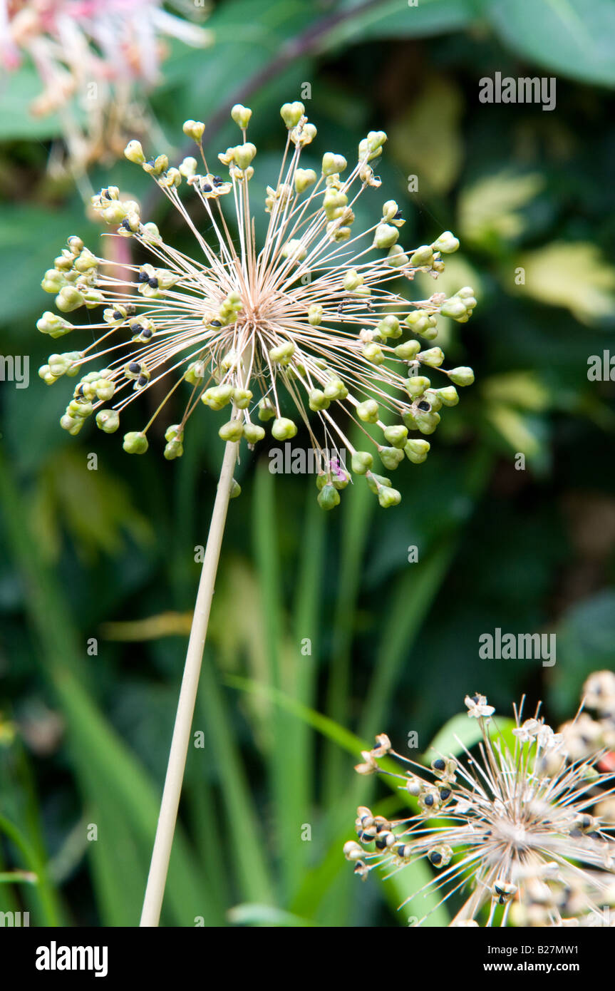 Grouping of Allium White Seed on Flower - Stock Image