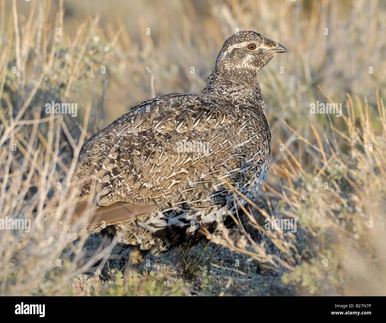 Greater Sage Grouse female on lek Murphy Idaho - Stock Image