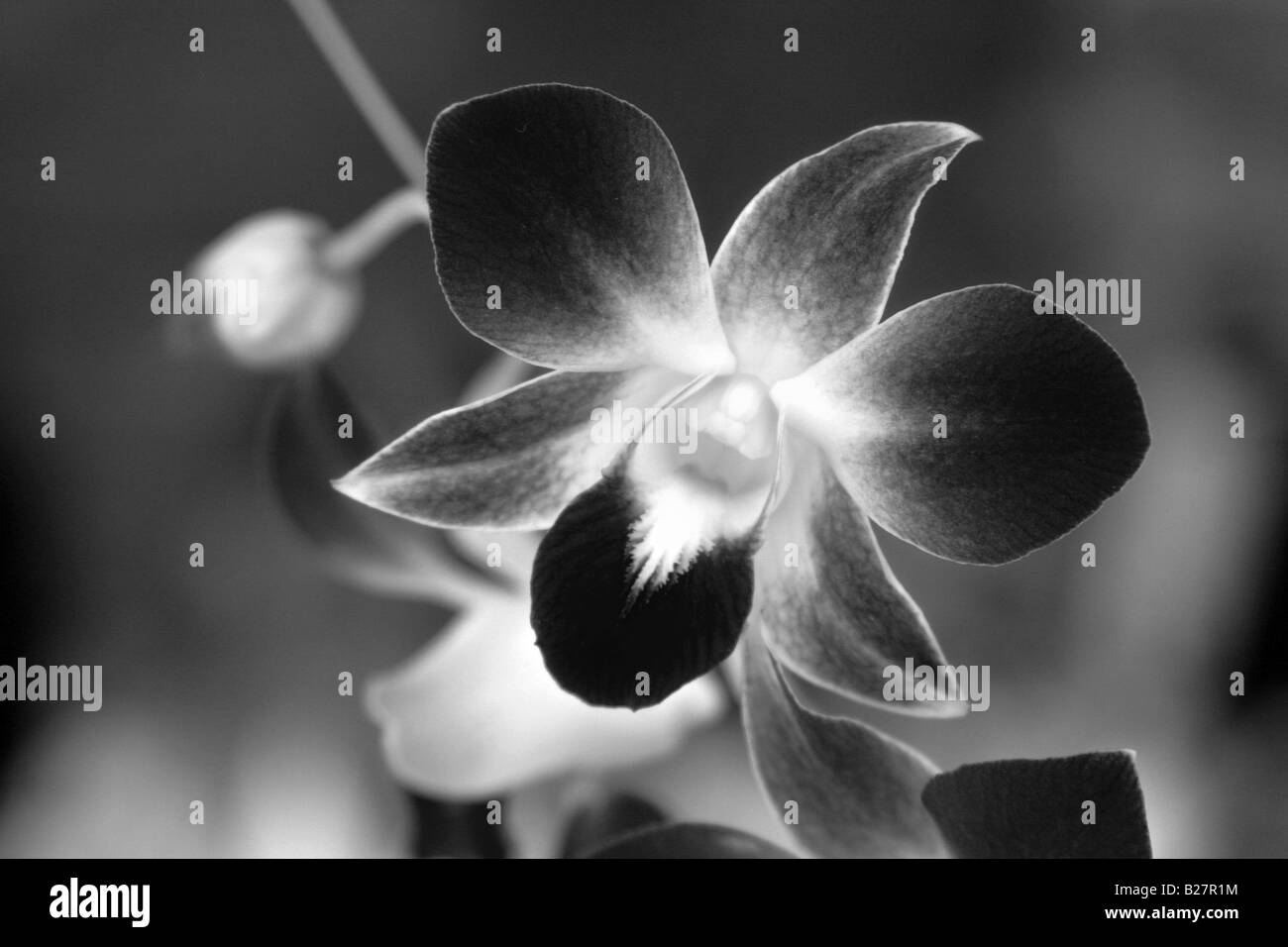 Black and white photo of a Dendrobium orchid. Stock Photo