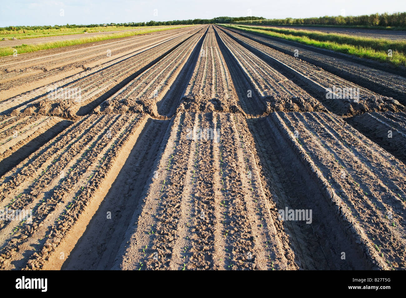 Rows in field, Florida, United States - Stock Image